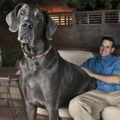 Giant Great Dane