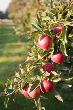 Michigan Apples. The best! Uncle Johns cider mill in St. Johns Michigan! Go there!