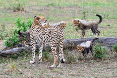 Kenya, i giochi degli arditi cuccioli di ghepardo - Corriere.it