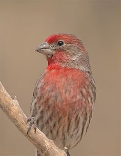 House Finch - I have a pair of these who keep coming back to investigate my clematis...love them!!