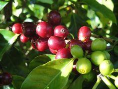 Plump, healthy Hawaiian coffee cherry.