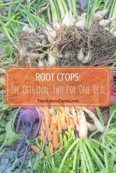 Root vegetables are an important garden crop, not only because they are nutritious, but also because they can help maximize your growing area by giving you two crops for the space of one. Let's take a look at the various benefits of root crops and which ones to grow based on your needs.