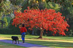A corticeira, também chamada de eritrina-crista-de-galo, bico-de-papagaio, sapatinho-de-judeu, suinã, flor-de-coral, mulungu e sananduva, é nativa do sul do Brasil, Argentina, Uruguai e Paraguai, podendo atingir de 10 metros de altura.   Tem grande importância para o paisagismo, pois, quando florida, é extremamente ornamental. O que mais chama a atenção é que, durante a sua floração, as folhas caem.   A flor da corticeira é a flor nacional da Argentina e Uruguai.