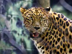 Tiger Eyes by Kathy Weaver