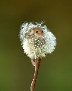 Make a wish little field mouse!