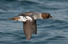 Golden-eye Duck-female; by Joe Iocco