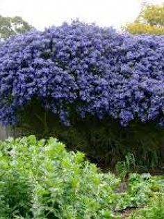 Idea, methods, furthermore guide in the interest of acquiring the greatest result and also attaining the optimum usage of Berms Landscaping Garden Trees, Garden Planters, Lawn And Garden, Blue Garden, Privacy Landscaping, Front Yard Landscaping, Country Landscaping, Landscaping Ideas, California Lilac