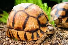 Young ploughshare tortoise