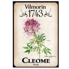 Vilmorin 1743 - Cléome