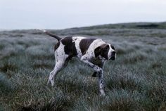 AP-1J8GQU - English pointer, Champion Waghorn Statesman, on point in moorland, Photo by Sally Anne Thompson