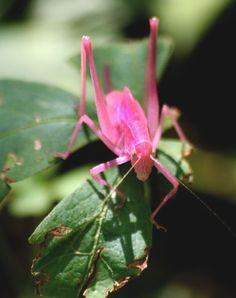 Saltamontes rosado - Pink Grasshoper