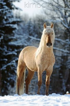 Country Living ~ Mangalarga Marchador Colt Standing In Snow - Kimballstock
