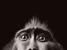 Más que humanos  Estos magníficos retratos son obra del fotógrafo británico Tim Flach.   En ellos se muestran con maestría los gestos y emociones de animales, increiblemente similares a los de nuestra especie.   Las instantáneas forman parte de su último trabajo More Than Human en el que quiere mostrar las poses y gestos del lenguaje corporal de los animales en una figura, una cara o una mano.
