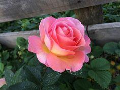 rosa simpática