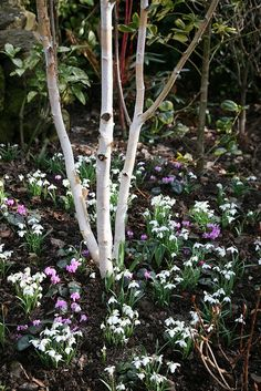Betula Utilis Jacquemontii Multistemmed (Himalayan Birch or Silver Birch) with flowers/bulbs- tulips, dafodils underneath