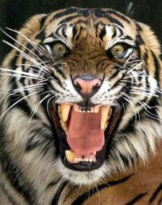 """""""Sumatran tiger"""" by Kimberly Blaylock Wild Animals Pictures, Animals Images, Animals And Pets, Cute Animals, Angry Animals, Tiger Pictures, Draw Animals, Most Beautiful Animals, Beautiful Creatures"""
