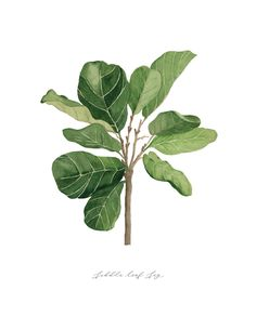 art print of original Fiddle Leaf Fig watercolor painting by Brooke Humble of Humble House Designs. Fig Drawing, Leaf Drawing, Watercolor Plants, Watercolor Leaves, Watercolor Painting, Botanical Drawings, Botanical Prints, Plant Sketches, Leaf Illustration