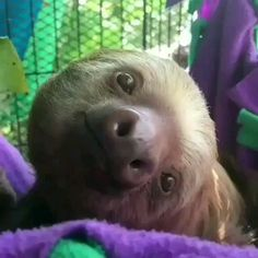This sloth is clearly pleased with life Cute Sloth Pictures, Cute Animal Photos, Cute Animal Videos, Cute Little Animals, Cute Funny Animals, Cute Dogs, Amazing Animals, Animals Beautiful, Regard Animal