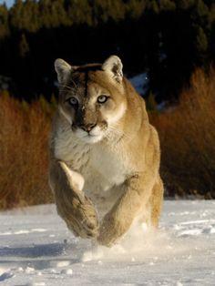 Mountain Lion, Winter, USA Impressão fotográfica por Daniel J. Cox na AllPosters.pt