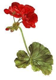 Geraniums and Art on Pinterest