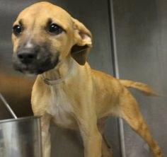***7/1/14 LISTED VIA FB @ GREENVILLE HIGH-KILL***Fooma: 2-month-old boxer mix needs out of high-kill upstate shelter