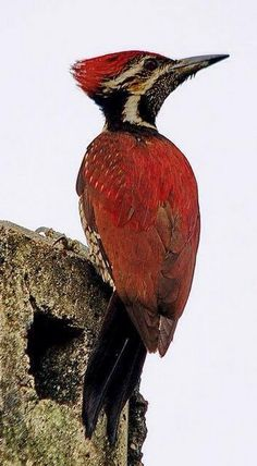 Black-rumped Flameback Woodpecker (Dinopium benghalense), 26-29 cm in length, a large woodpecker with characteristic golden yellow wing coverts. Native to the Indian subcontinent. Also known as Lesser Golden-backed Woodpecker.