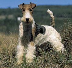 Wire Fox Terriers are full of spunk. Bred like all terriers to chase and catch vermin, they have anindependentand bold personality that is sometimes mistaken for aggression. They are energetic little dogs that will bounce of your walls but actually do well in apartments when exercisedfrequently. This dog is not the most tolerant breeds so they do poorly with small children but decently with older, lessboisterouschildren. Their fur needs to behand-strippedregularly but