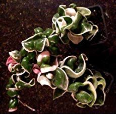 How to grow Hindu rope plant 'Variegated' (Hoya carnosa compacta), plant pictures and planting care instructions supplied by real gardeners. Hoya Plants, Cacti And Succulents, Planting Succulents, Garden Plants, Indoor Plants, Mother In Law Plant, Hindu Rope Plant, Best Grow Lights, Pink Plant