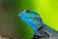 Blue Headed Agama in Lower Sabie camp Kruger National Park, National Parks, Crocodile Eating, Baby Tortoise, Sharp Photo, Colorful Trees, Baboon, Crocodiles, Crocodile