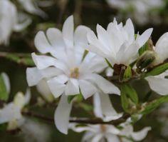 Stermagnolia (Magnolia stellata) Waar de echte magnolia 3 tot 5 m hoog wordt ; kan deze 'stermagnolia' ook in een kleine tuin geplant worden . De stermagnolia wordt tot 2 meter en houdt van een beschutte plaats.