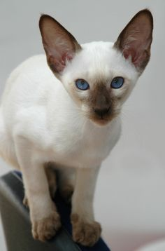 Hello :) (via / Siamese by Georges CATALA) Love this little cat! Tap the link Now - The Best Cat Products - Worldwide Shipping! Pretty Cats, Beautiful Cats, Animals Beautiful, Cute Animals, Wild Animals, Baby Animals, Siamese Kittens, Kittens Cutest, Cats And Kittens