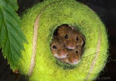 That might rival harvest mice for outrageous levels of Nest Cuteness.