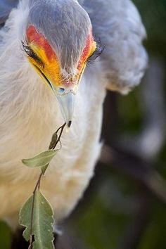 "Secretarybird - long eyelahes  Maybe it's Maybeline"" By Brian Connolly"