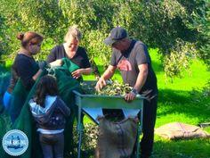 OLYMPUS DIGITAL CAMERA Olive Harvest, Olive Press, Oil Shop, Old Mother, Olympus Digital Camera, Growing Tree, Air Pollution, Yummy Snacks, Health Benefits