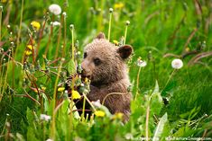 Canadian Grizzly Bear Cub