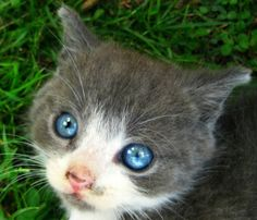 A grey and white kitten lying in the grass looking up to the camera with its bright, blue eyes. Grey And White Kitten, White Kittens, Beautiful Blue Eyes, Beautiful Cats, Fuzzy Wuzzy, Cat Face, Crazy Cats, Best Dogs, Cute Babies