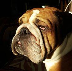 30 Things English Bulldogs Should Never Eat Apple Seeds, Salty Snacks, English Bulldogs, Love Pet, Bulldog Puppies, Animal Tattoos, Animal Memes, Dog Life, Doggies