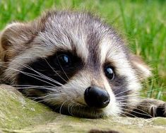 Raccoon at Clear Creek Road Vida Animal, Mundo Animal, My Animal, Cute Creatures, Beautiful Creatures, Animals Beautiful, Cute Baby Animals, Animals And Pets, Funny Animals
