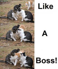 Boss Cat Meme -
