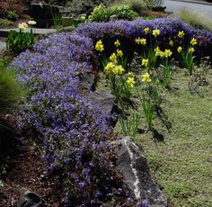 Gerogia Blue Speedwell - use on rock walls, but remember it gets leggy later in the season.