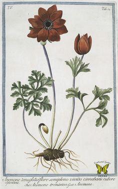 Poppy anemone. Anemone coronaria. (1783-1816).