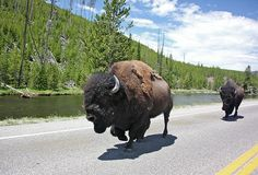 Yellowstone Park is Americas Oldest and most beloved National Park. There is a lot to see and do inside the gates if Yellowstone. Here are some of the top attractions you should keep an eye out for when you are visiting Yellowstone National Park. Visit Yellowstone, Yellowstone Vacation, Yellowstone National Park, National Parks Map, Parc National, Zion National Park, Vacation Places, Places To Travel, Places To Go