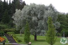 Billedresultat for Salix alba Sericea Image News, Web Images, Image Search, Sidewalk, Country Roads, Lake Shore, Google, Hamilton, Side Walkway