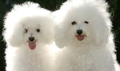 Самые дорогие собаки в мире.  Бишон фризе. 1000 - 5000 $