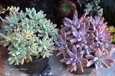 Pachyveria 'Blue Pearl' left grown in shade, right grown in sun (Oasis Gardens)
