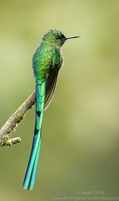 https://flic.kr/p/N6ej2k | Long-tailed Sylph (male) / Aglaiocercus kingii / Silvo Coliverde (macho) | The shining green & blue colors of the Long-tailed Sylph are a joy. This splendid hummingbird inhabits Andean montane forests and edges between 1,400 - 3,000 meters, and it frequently visits gardens. It is found in Venezuela & Colombia, and further south into Ecuador & Bolivia.  Photo taken in Rio Blanco nature reserve, above the city of Manizales (Central Andes of Colombia).  Vi...