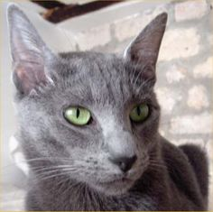 Russian Blue - This looks like my Budley!