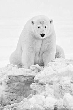 Beautiful Polar Bear!