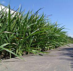 248 best landscape gardening plants images on pinterest native breeze dianella is a spreading strappy leaf plant with no canes altavistaventures Images