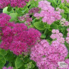 'Ice Plant', Sedum spectabile 'Brilliant' (Ice plant). - *an Autumn winner in my garden...